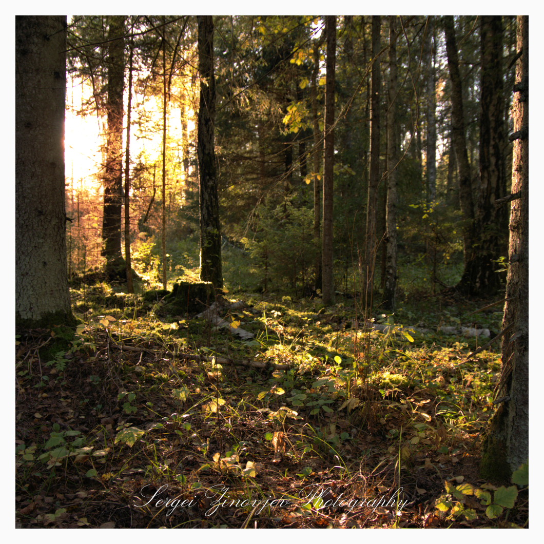 evening sunlight in the forest