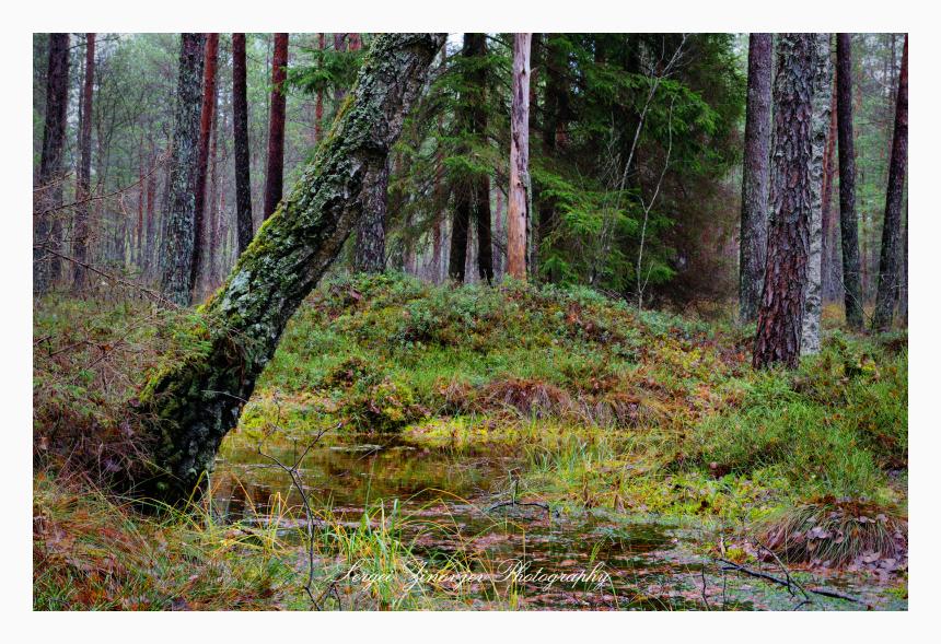 Wild forest located in Järvamaa, Estonia