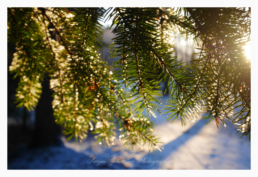 sunny light through pine branches