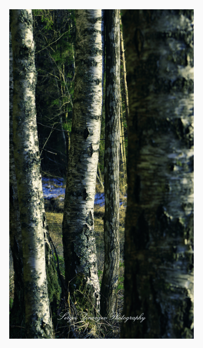 Birch trees in the forest