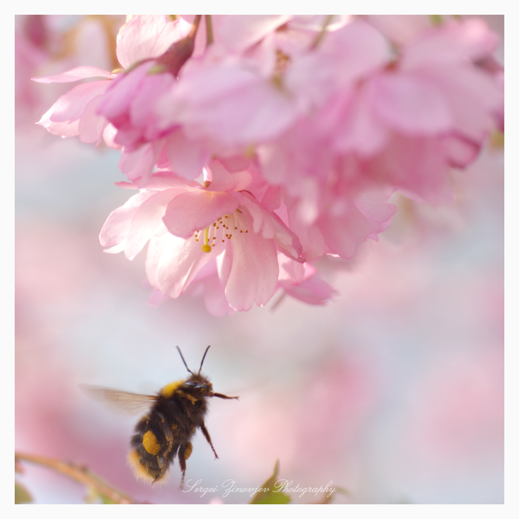 bee flying toward the cherry blossom