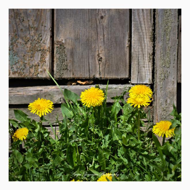 dandelions in front of the old house