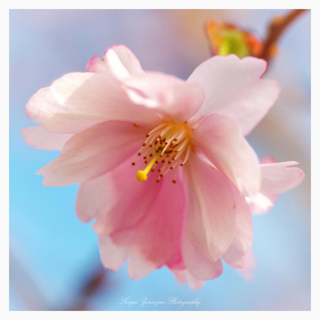 close-up of cherry tree blossom
