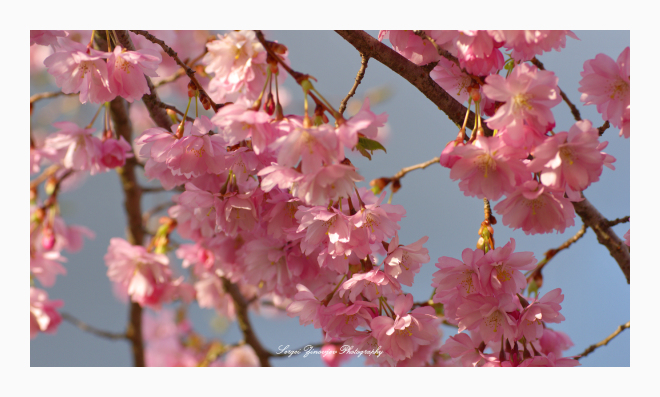 close-up of cherry tree blossoms