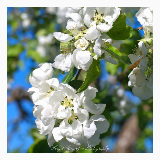 close-up of blooming apple tree