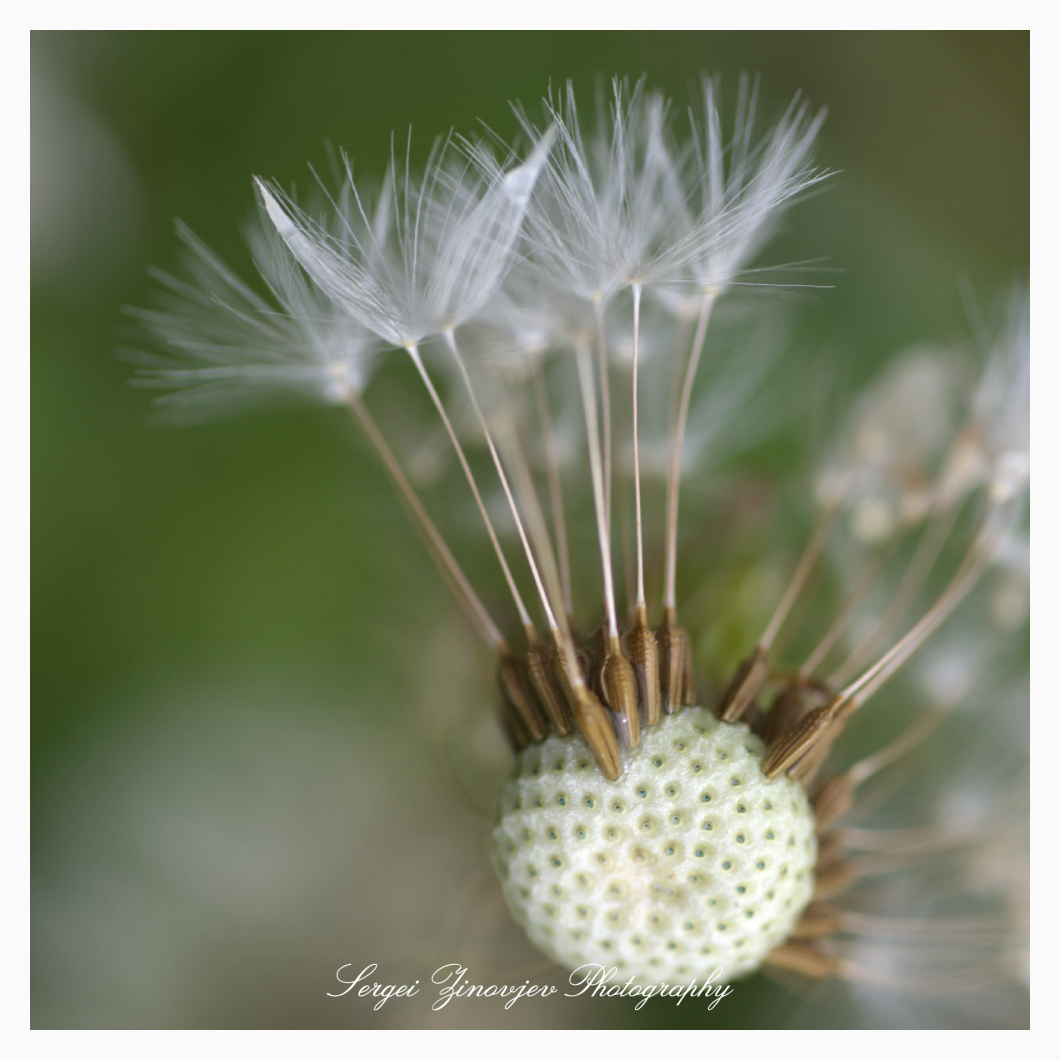 macro of dandelion