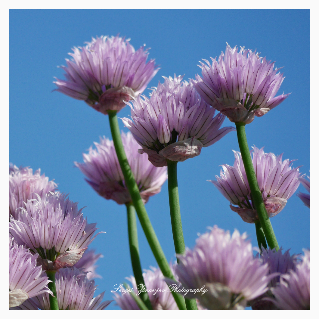 close-up of garden chives