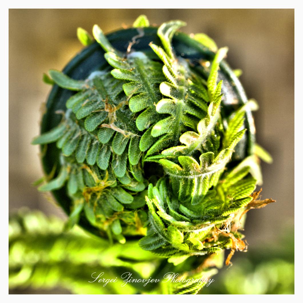 close-up of buckler ferns