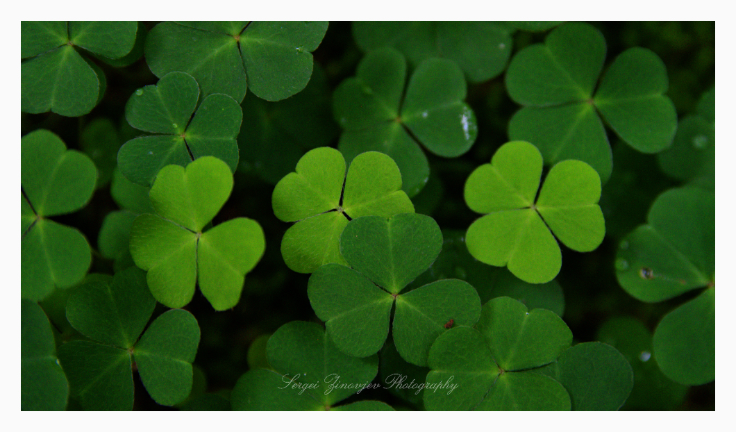 close-up of shamrock