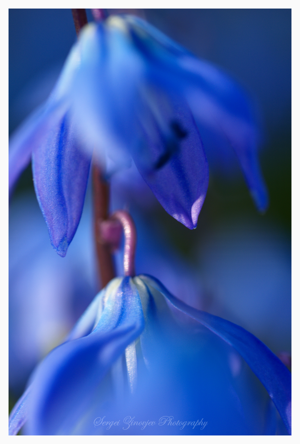 Close-up of Hepatica nobilis