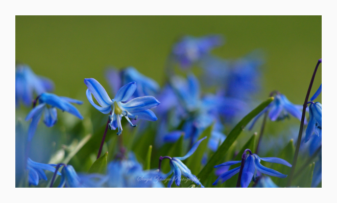 close-up of Siberian squill