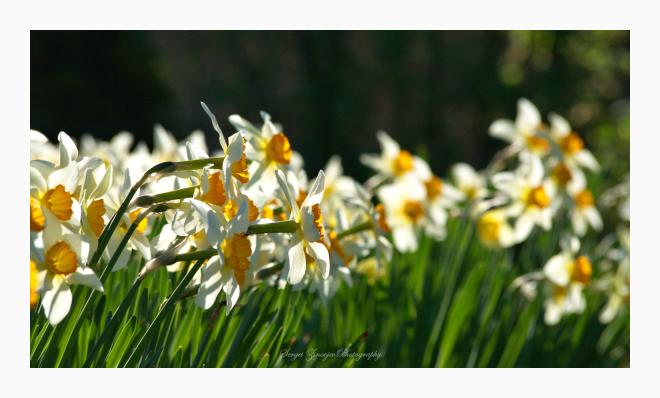 daffodils in the garden