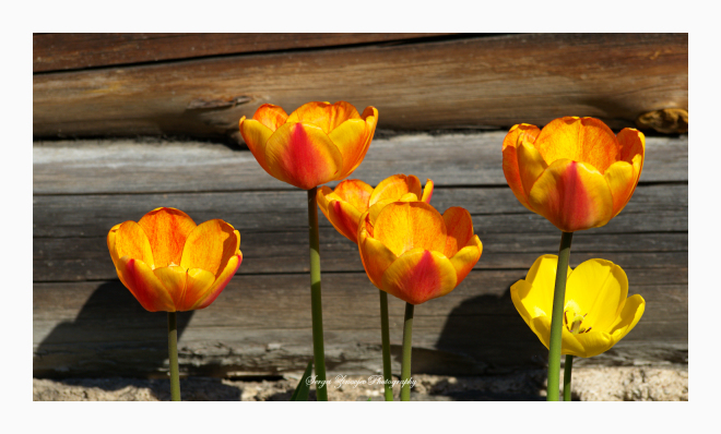close-up of tulips by the wall