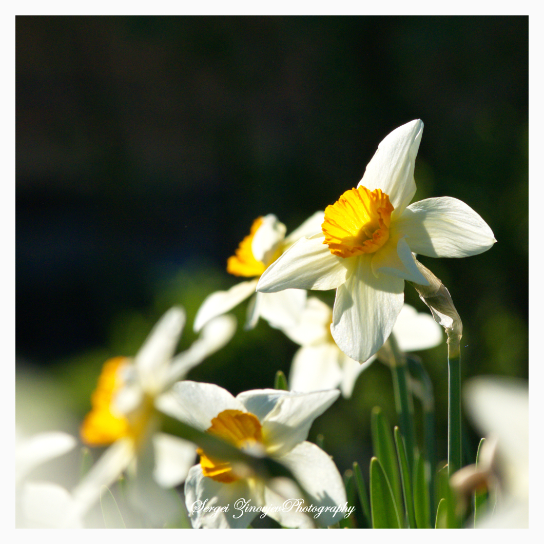 close-up of daffodil