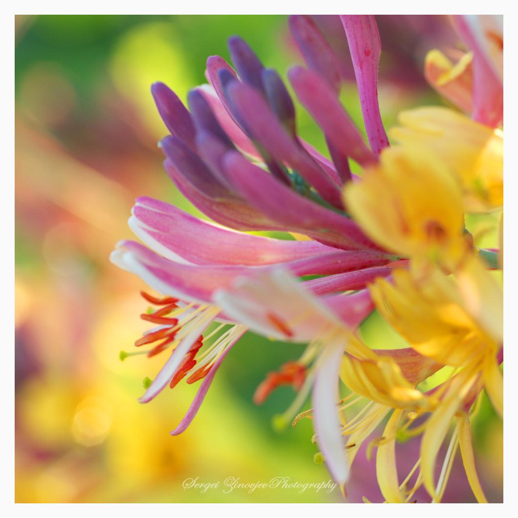 Perfoliate honeysuckle blooming