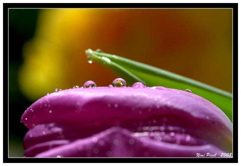 just little drop on tulip