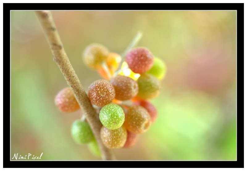 littles berries