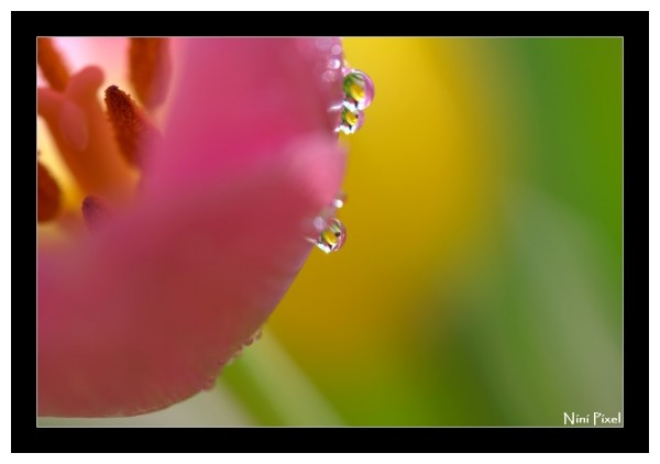 Littles drops on a pink tulip...