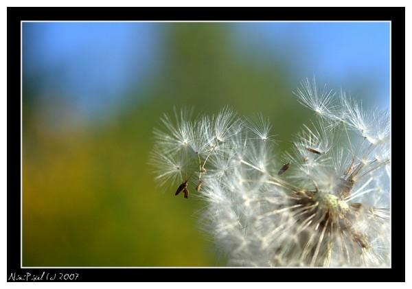 A dandelion...