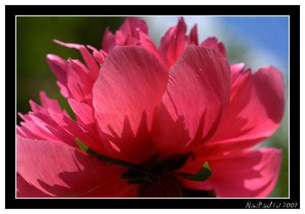 peony, pink, flower