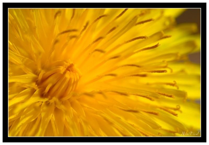 Details of a dandelion