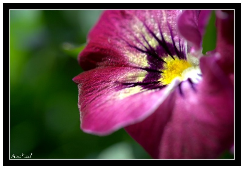 The last pansy
