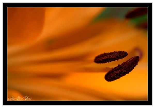 An orange lily...