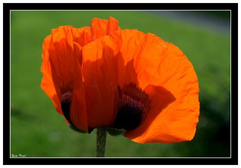 A poppy in the sun...