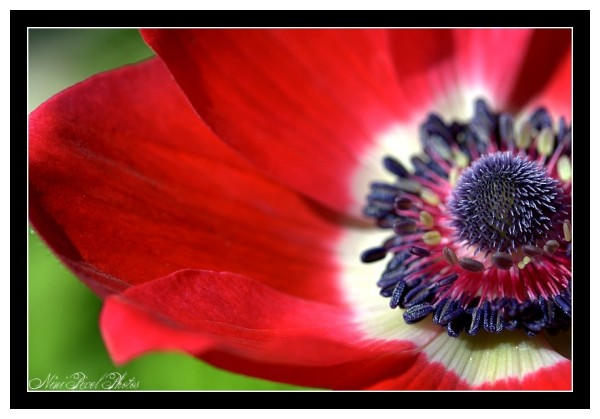 Anemone... red one...