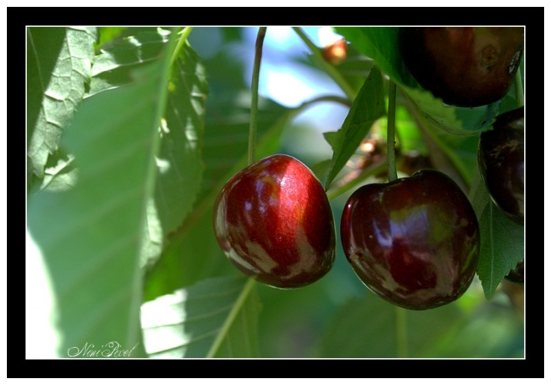 Beautiful cherries that ripen in the sun