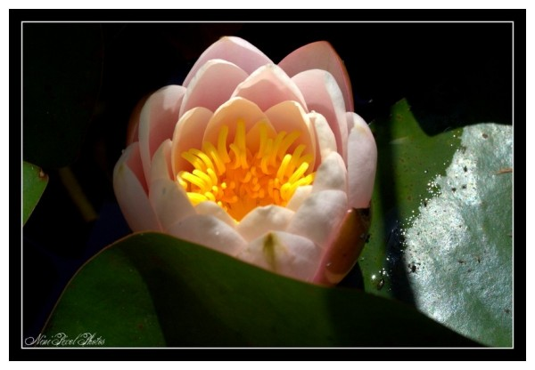 A beautiful water lily