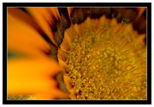 Sun flower...