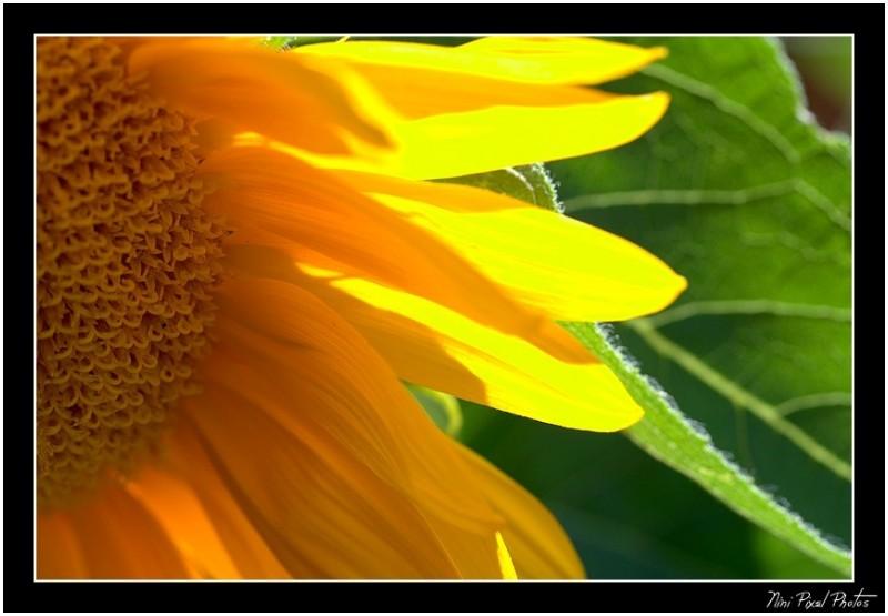 Sunflower chiaroscuro