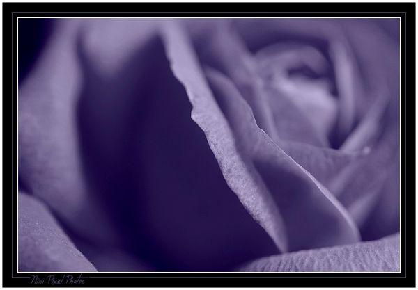 A blue Rose.....