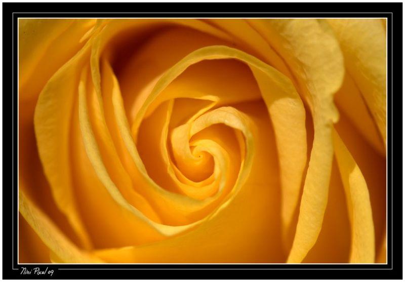 Une rose jaune...