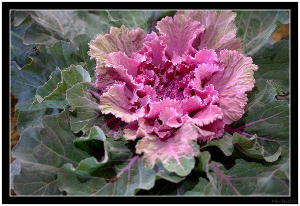 Ornemental Cabbage...