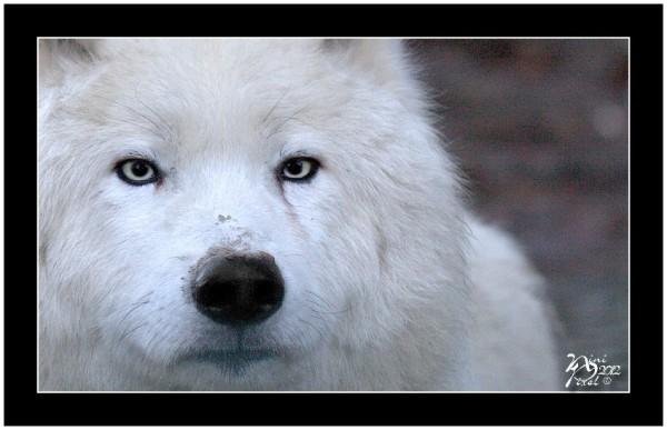 Loup Arctique - Arctic Wolf