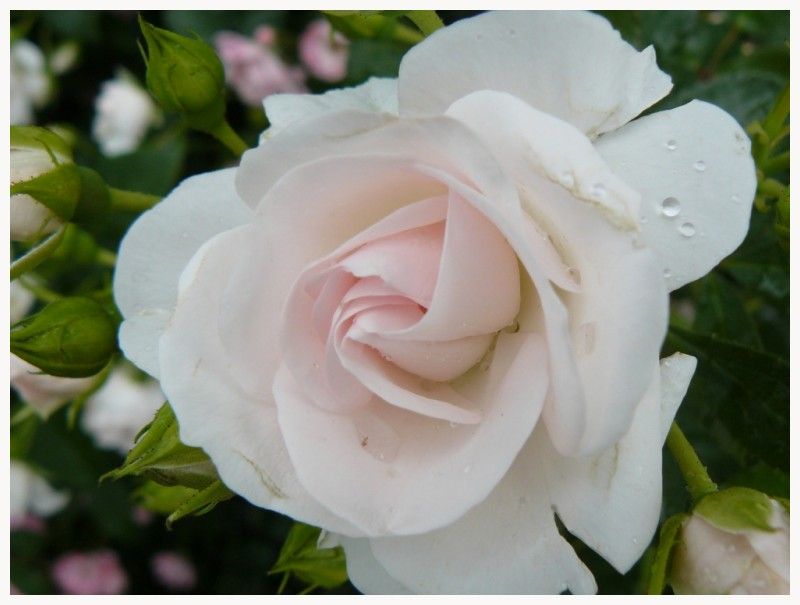 Delicate Rose tendre