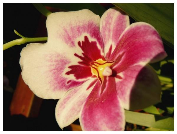 Flamboyante orchidée
