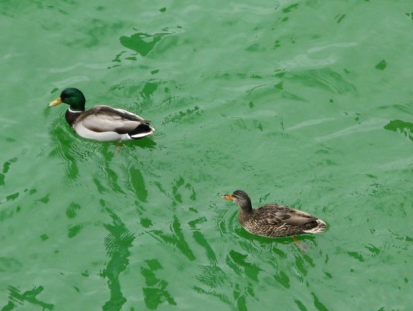 A mallard pair on the Chicago River -16 March 2008