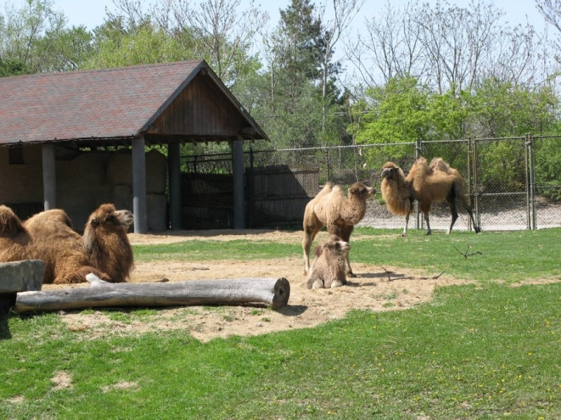 Bactrian camel at Brookfield Zoo