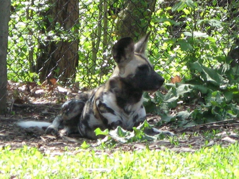 African wild dog at Brookfield Zoo
