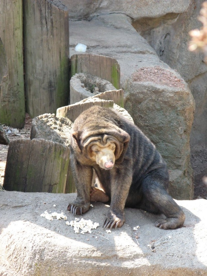 Sun bear at Lincoln Park Zoo, Chicago