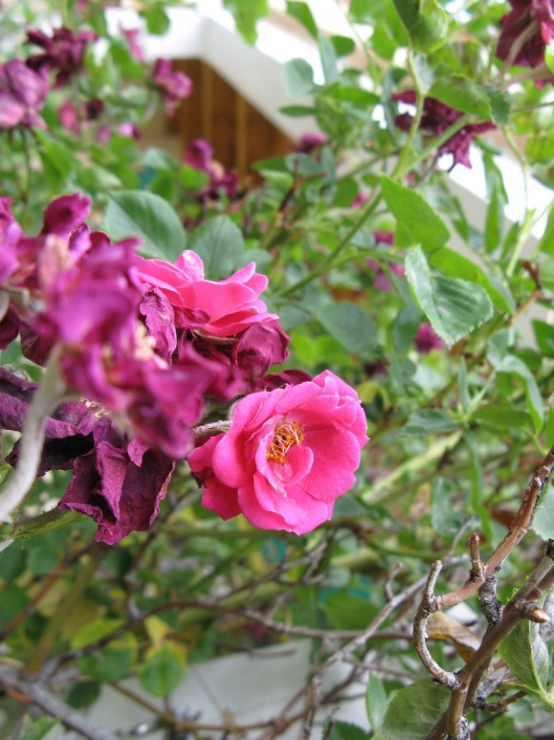 Climbing roses at the end of the season