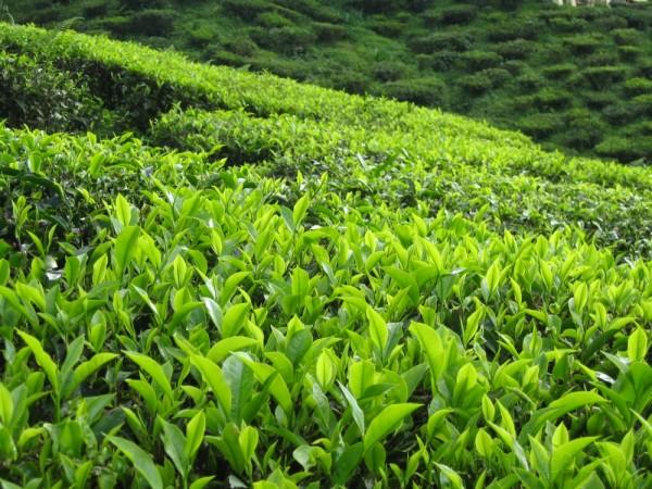 tea farm in Cameron Highland