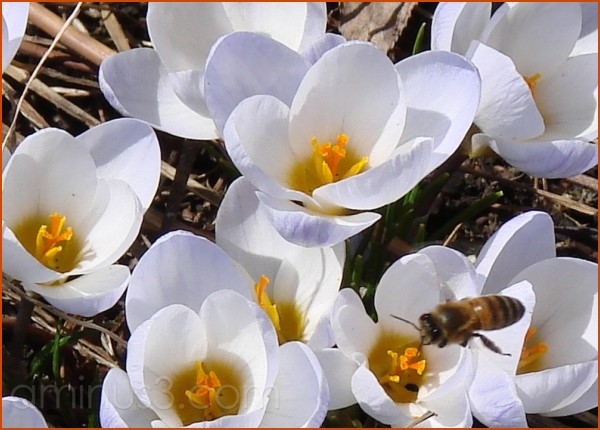 These crocuses buzz!