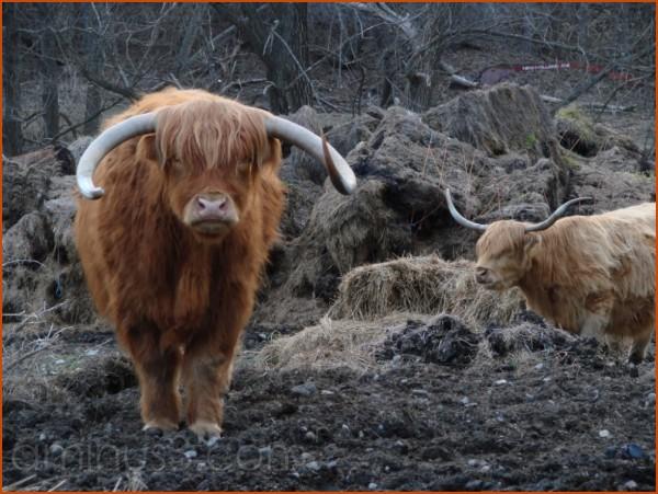 Beefalo or buffalo--I don't know!