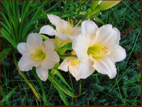 Luscious Lilies