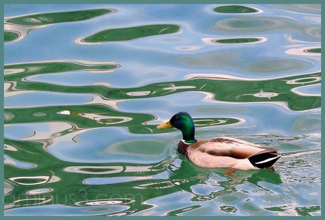 Mr. Mallard enjoys a swim