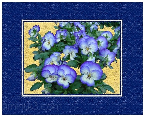Pansies turned into card design
